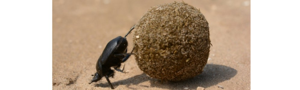 Sisyphus of the Insect World